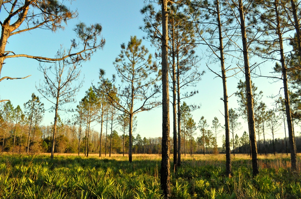 Pine Flatwoods Green Swamp Florida