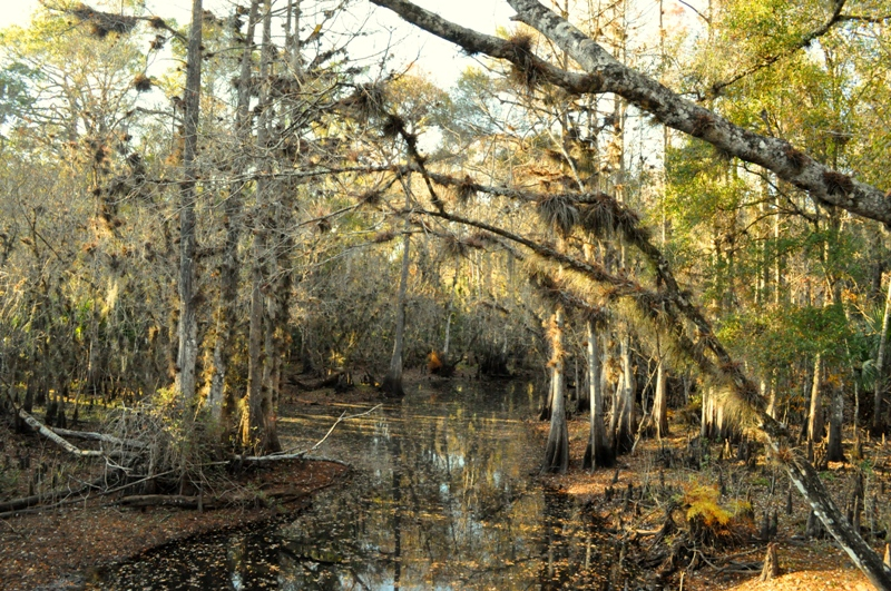 Withlacoochee River Green Swamp